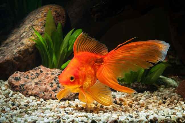 Золотые рыбки обладают 3-секундной памятью