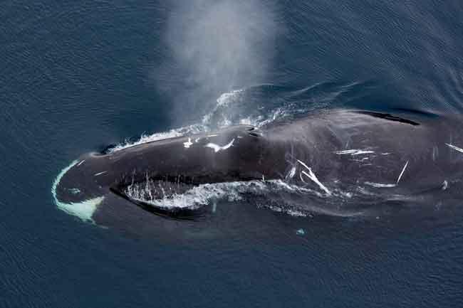 Гренландские киты