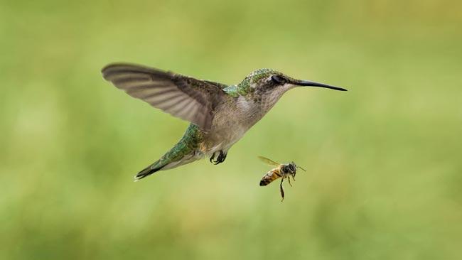 Колибри-пчелка
