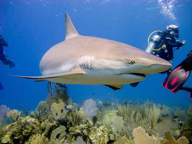 Карибская рифовая акула