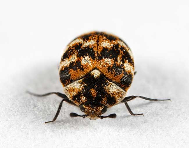 Ковровые жуки (Anthrenus verbasci)