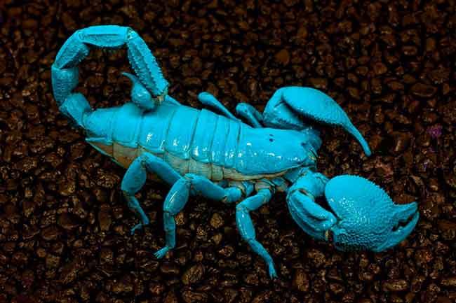 Животные с голубой кровью