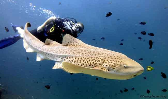 Калифорнийская тройнозубая акула (леопардовая акула)