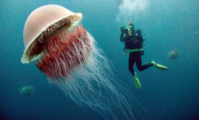 Медузы Номура (Nemopilema nomurai)