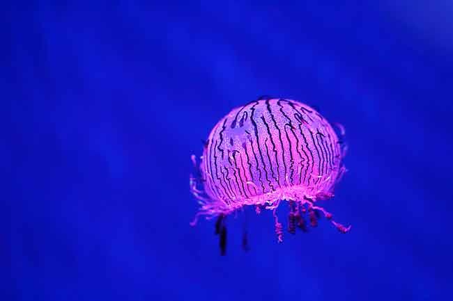 Olindias formosa, или медуза цветочная шляпка