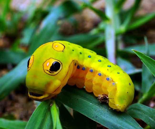Гусеница Papilio troilus