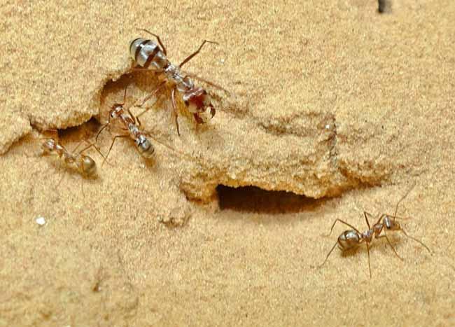 Сахарские серебряные муравьи (Cataglyphis bombycina)
