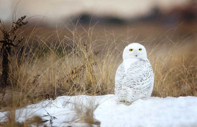 Белая или полярная сова