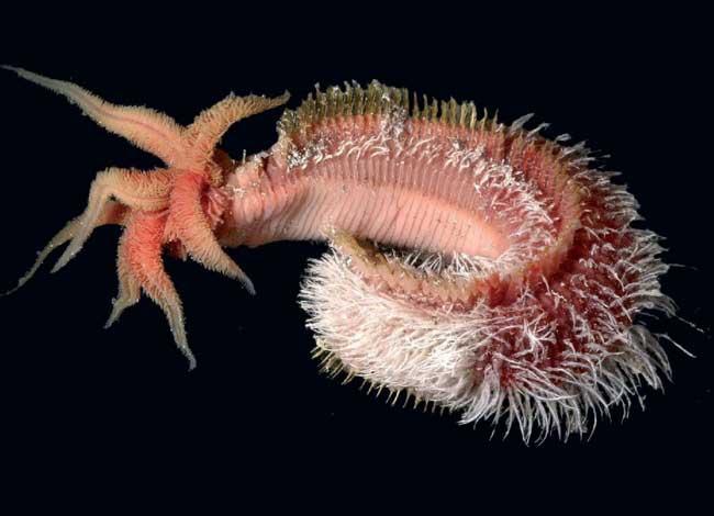 Помпейский червь (Alvinella pompejana)