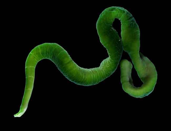 Животные с зеленой кровью