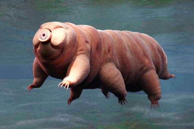 Тихоходка (водяной медведь)