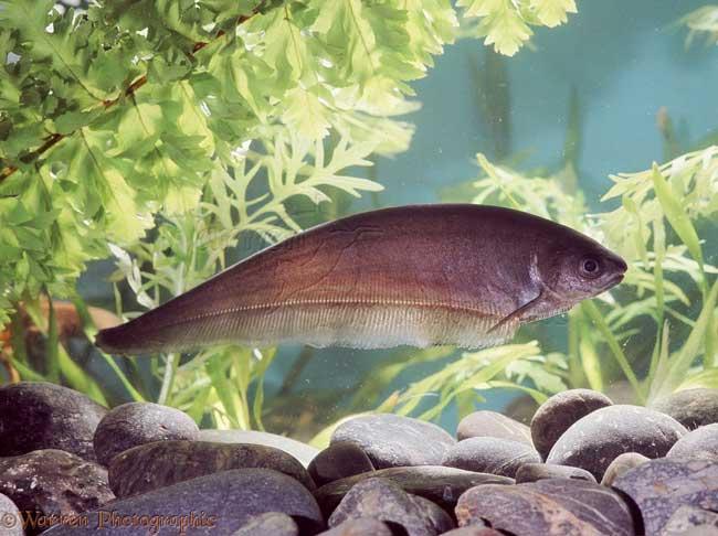 Африканская бурая ножевая рыба использует электролокацию