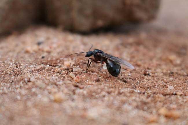 Трутневые муравьи