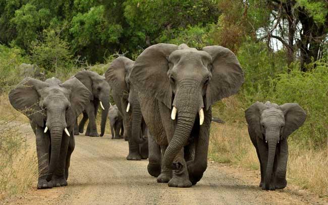 Слоны используют язык жестов