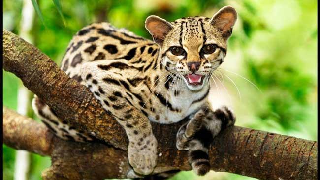 Длиннохвостая кошка (маргай)