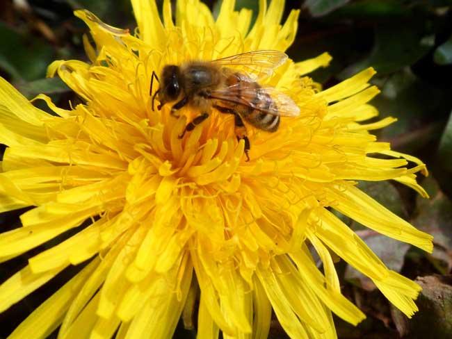 Рабочие медоносные пчелы
