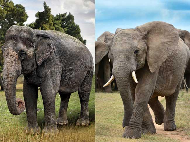 Азиатские vs Африканские слоны