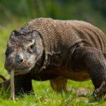 Топ-10 Фактов О Комодском Драконе – Самой Большой Ящерице В Мире