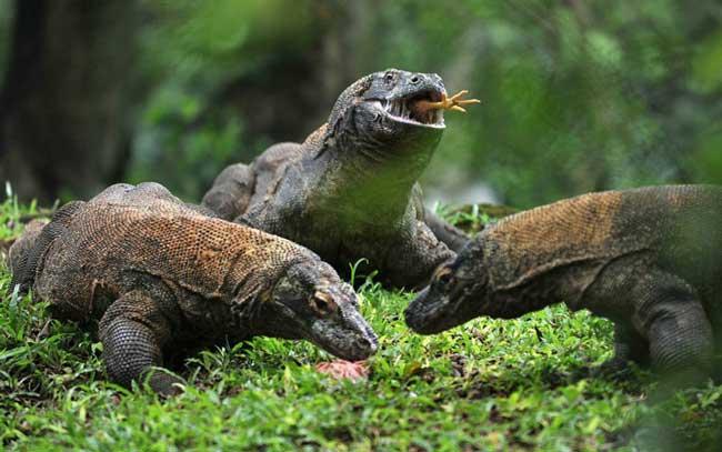 Комодские вараны едят