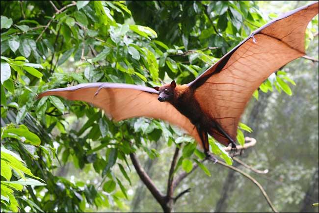 Длиннохвостый крылан