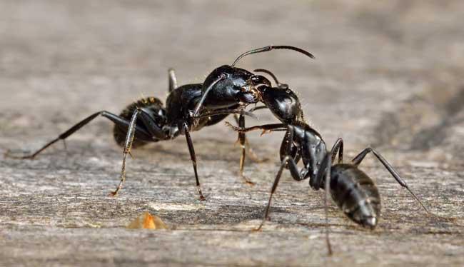 Целующиеся муравьи