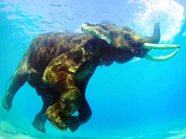 как плавает слон?