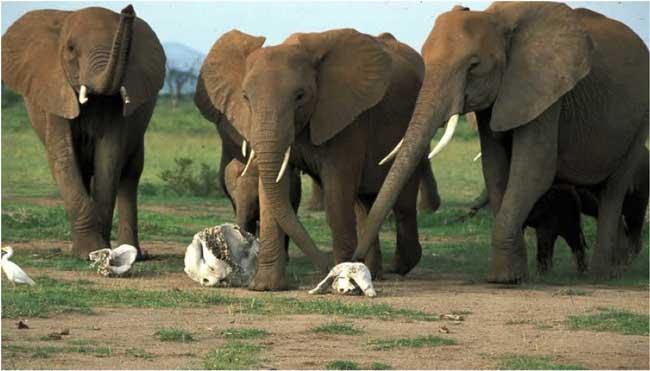Слоны часто отдают дань уважения костям своих умерших