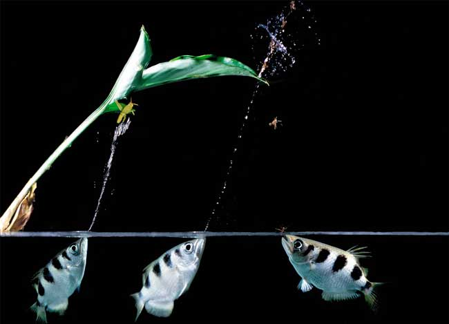 Брызгуны (рыба лучник)