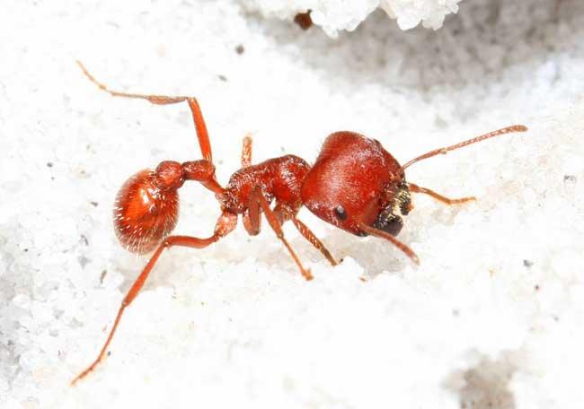 Флоридский муравей-жнец