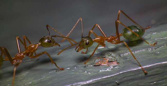 Зеленоголовый муравей Rhytidoponera metallica