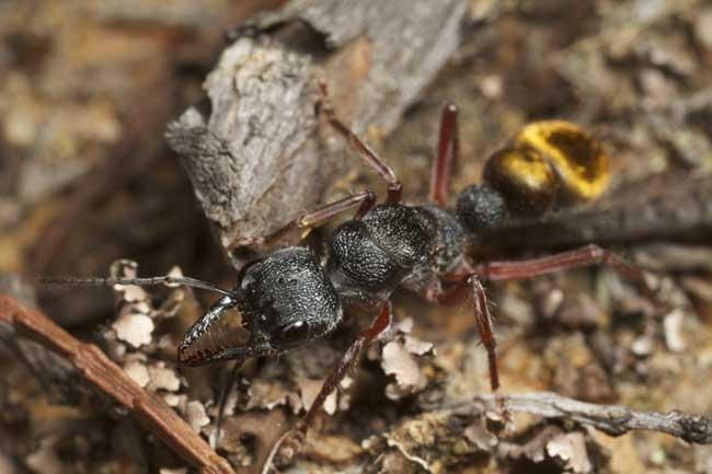 Черный муравей-бульдог