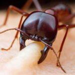 10 самых опасных муравьев в мире, которые могут убить вас