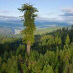 Интересные факты о гигантских секвойях