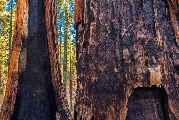 Гигантская секвойя