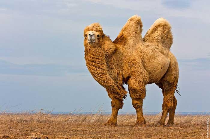 Дикий бактрийский верблюд (Camelus ferus)