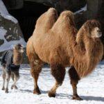 Обитатели Пустыни: 3 Вида Верблюдов, О Которых Нужно Знать
