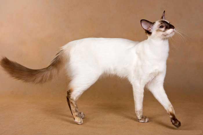 Балийская или балинезийская порода кошек