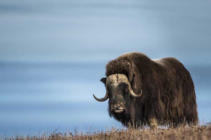 Мускусный бык (овцебык)