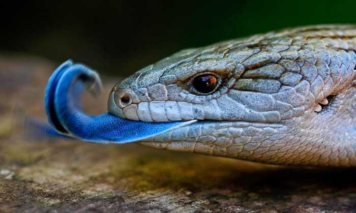 Сцинк с синим языком