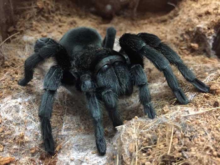 Бразильский черный тарантул Grammostola pulchra