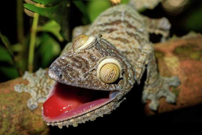 Гигантский плоскохвостый геккон