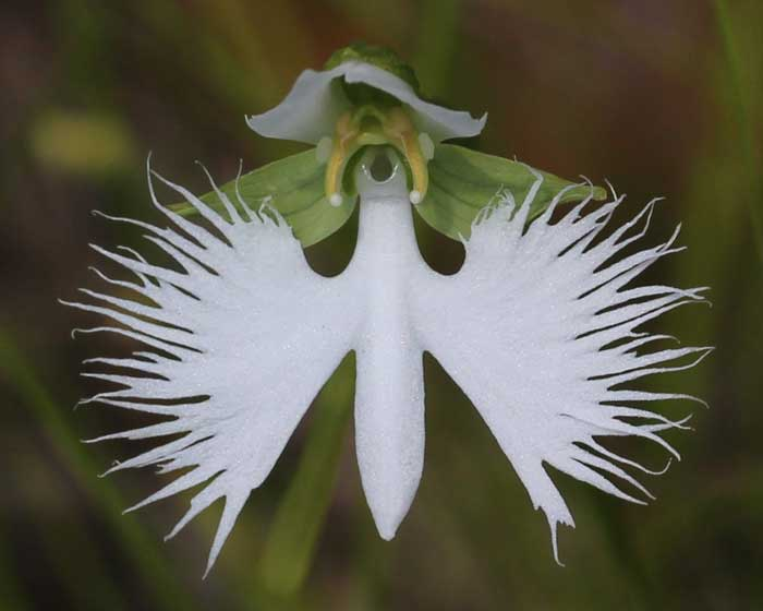 Орхидея «Белая Цапля»