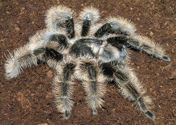 Курчавоволосый паук-птицеед
