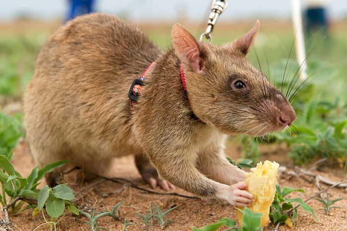 Гамбийская хомяковая крыса