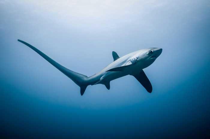 Лисьи акулы