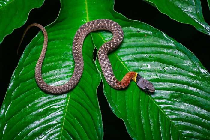 Малайский кустарниковый уж