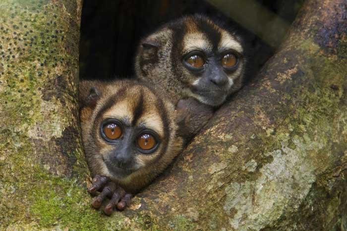 Ночные обезьяны