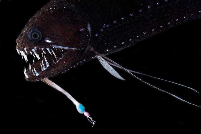 Рыба-дракон (Echiostoma barbatum)