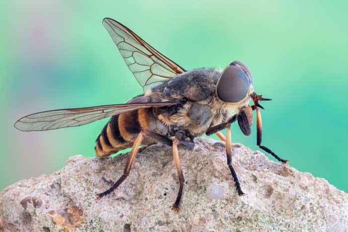 Слепни (лошадиная муха)