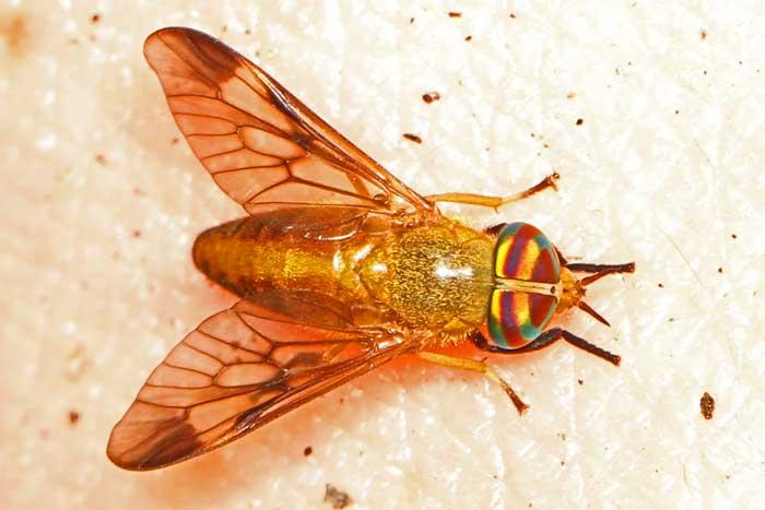 Diachlorus ferrugatus или желтая муха